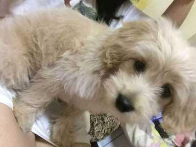 泰迪狗和金毛能配种吗 泰迪能和金毛配吗