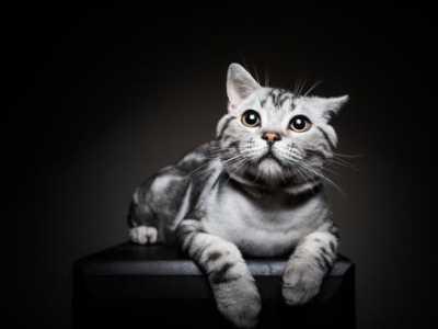 美国短毛猫要如何正确饲养 美国短毛猫好养吗