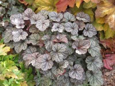 银白色的奇妙观叶植物 白叶子的植物
