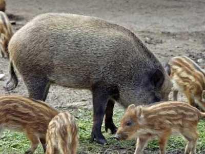 世界上最大的野猪有多大 棕熊最大有多大