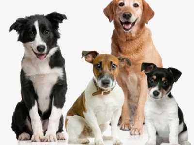 狗狗尿石症的原因、症状、诊断方法 狗狗尿结石的症状