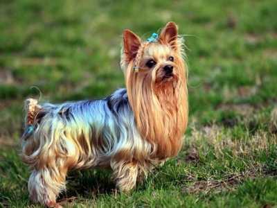 最小的仅有拳头大小 最小的狗
