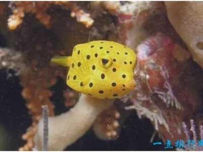 粒突箱鲀鱼长得像一只方盒子 世界上最美的鱼又萌